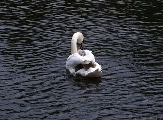 Cygnets hitching a ride
