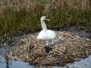 Swan at Elton
